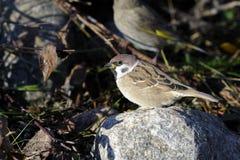 Tree sparrow, passer montanus Royalty Free Stock Image