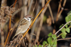 Tree sparrow, passer montanus Royalty Free Stock Photos