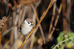 Tree sparrow, passer montanus Royalty Free Stock Photography