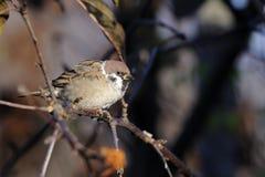 Tree sparrow, passer montanus Royalty Free Stock Photos