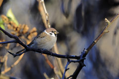 Tree sparrow, passer montanus Stock Image