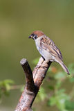 Tree Sparrow (Passer montanus). Perched on a branch Royalty Free Stock Photography