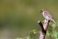 Tree Sparrow (Passer montanus) Royalty Free Stock Images