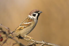 Tree sparrow (Passer montanus) Royalty Free Stock Photos