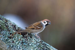 The Tree Sparrow (Passer montanus) Stock Photo