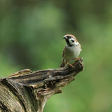 Tree Sparrow (Passer montanus Royalty Free Stock Image