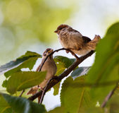 Tree sparrow Passer Montanus Royalty Free Stock Photos