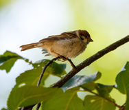 Tree sparrow Passer Montanus Stock Photo
