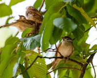 Tree sparrow Passer Montanus Royalty Free Stock Images