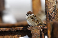 Tree sparrow, Passer montanus Stock Image