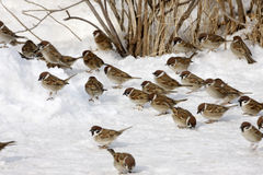 Tree sparrow, Passer montanus. Group in snow Royalty Free Stock Photo