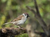 Tree Sparrow (Passer montanus Royalty Free Stock Photography