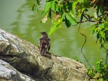 Tree Sparrow (Passer Montanus) Royalty Free Stock Photos
