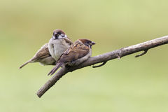 Tree Sparrow (Passer montanus) Stock Image