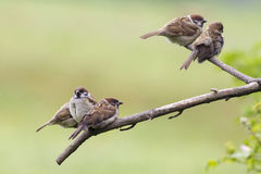 Tree Sparrow (Passer montanus) Royalty Free Stock Photo