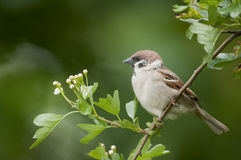 Tree sparrow ( passer montanus) Royalty Free Stock Photos
