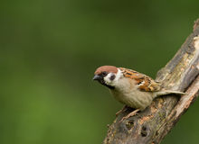 Tree sparrow (Passer montanus). Poland in July.Tree sparow sitting on the branch Stock Photos