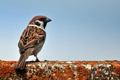 Tree sparrow Passer montanus. Portrait Royalty Free Stock Images