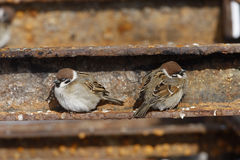 Tree sparrow, Passer montanus Stock Images