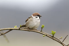 Tree sparrow, Passer montanus Royalty Free Stock Photo