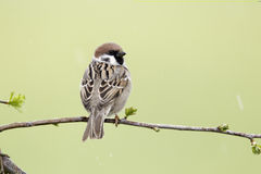 Tree sparrow, Passer montanus Stock Photos
