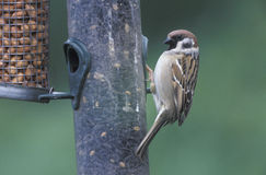 Tree sparrow, Passer montanus Stock Photography