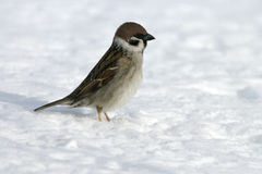 Tree sparrow, Passer montanus Royalty Free Stock Image