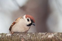Tree sparrow Passer montanus sitting on a branch royalty free stock photo