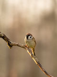 Tree sparrow (Passer montanus) sitting on a branch in the mornin. Male tree sparrow (Passer montanus) in November morning sitting on thin branches Vertical view Stock Images