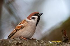 Tree sparrow Passer montanus sitting on a branch royalty free stock photos