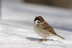 Tree sparrow, Passer montanus Stock Photography