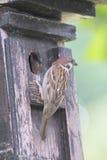 Tree Sparrow   (Passer montanus) Royalty Free Stock Photo