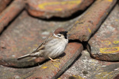 Tree sparrow, Passer montanus Royalty Free Stock Images