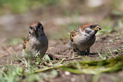 Tree sparrow, Passer montanus Stock Photo