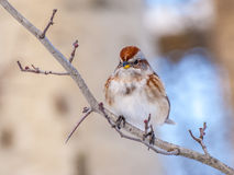 Tree Sparrow Royalty Free Stock Photos