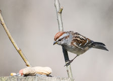 Tree Sparrow Stock Images