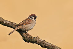 Tree sparrow Royalty Free Stock Image