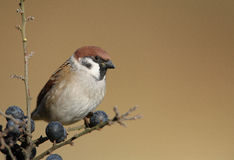 Tree Sparrow. The picture was taken in Hungary Royalty Free Stock Photography