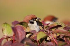 Tree sparrow portrait Stock Photography