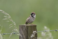 Tree sparrow portrait fishing nesting. Tree sparrow portrait, close up fishing nesting Stock Images