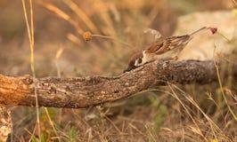A Tree Sparrow with prey Stock Photos