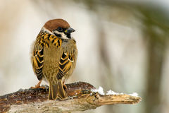 Tree Sparrow's Plumage Stock Images