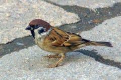Tree sparrow on sidewalk Stock Photos