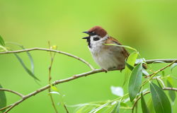 Tree sparrow singing Royalty Free Stock Image