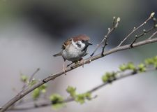 A tree sparrow Sitting on a thin branch stock photo