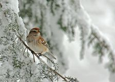 Tree Sparrow in Snow Storm. Tree Sparrow (Spizella arborea) perched on a snow covered Evergreen during a snow storm in winter stock images