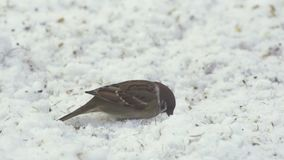 Tree sparrow in snow. Video of small tree sparrow finding food in the snow stock footage