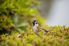 Tree Sparrow Spizelloides arborea. Spotted outdoors in the wild Royalty Free Stock Photos