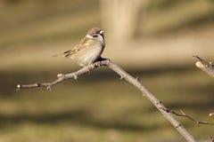 Tree Sparrow Stock Image