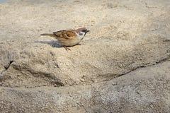 Tree Sparrow Royalty Free Stock Photos